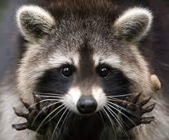 San Antonio Raccoon Removal